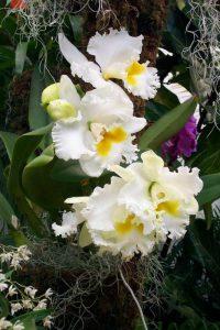 orchidée-cattleya