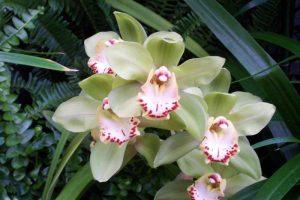 orchidee-cymbidium