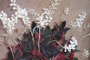 orchidee-ludisia