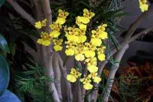 orchidee-oncidium