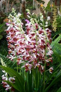 orchidee-phaius