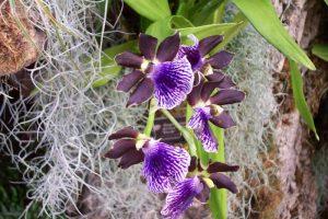 orchidee-zygopetalum